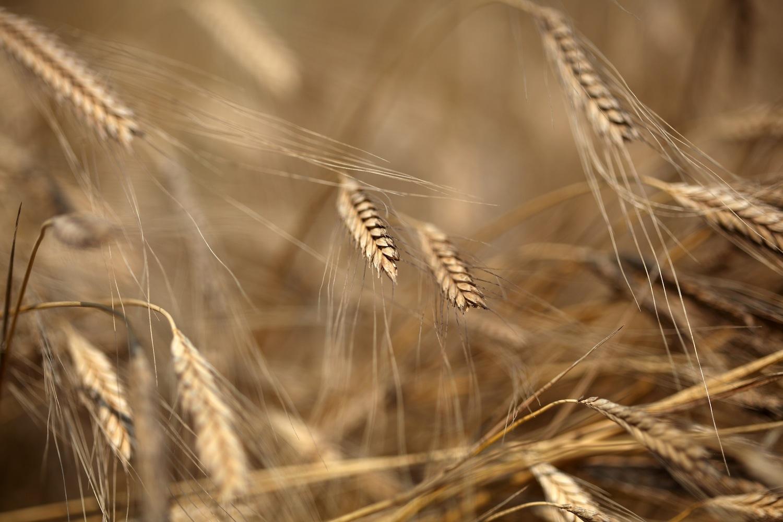 Monococo Harvest