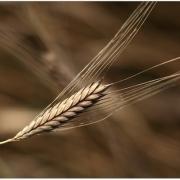 10lb_wheat.stalk_