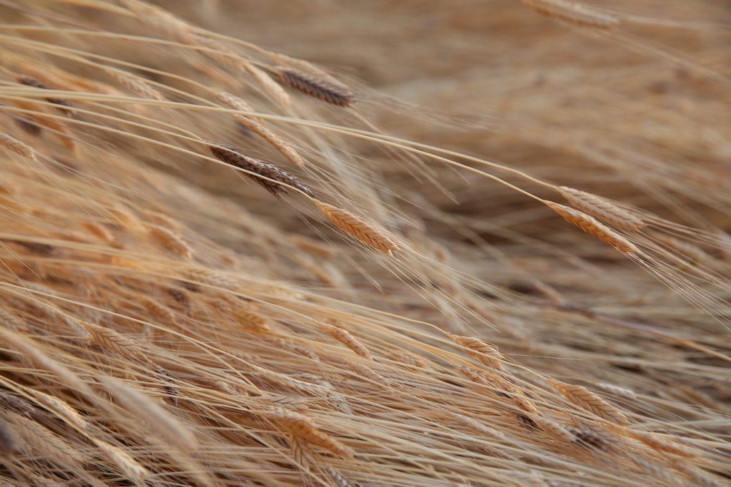 Jovial Einkorn Harvest