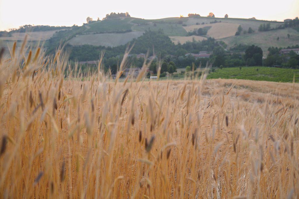 Paolos-einkorn-farm